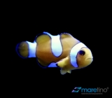 Amphiprion ocellaris Misbar